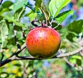 Ένωση της Apple σε ένα δέντρο μηλιάς Στοκ φωτογραφία με δικαίωμα ελεύθερης χρήσης