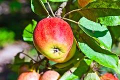 Ένωση της Apple σε ένα δέντρο μηλιάς Στοκ Φωτογραφίες