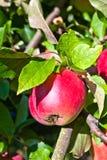 Ένωση της Apple σε ένα δέντρο Στοκ Εικόνα