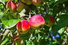 Ένωση της Apple σε ένα δέντρο Στοκ φωτογραφίες με δικαίωμα ελεύθερης χρήσης