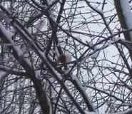 Ένωση της Apple στη Apple, που καλύπτεται με το χιόνι Στοκ εικόνες με δικαίωμα ελεύθερης χρήσης