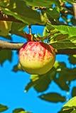 Ένωση της Apple στο δέντρο μηλιάς Στοκ φωτογραφία με δικαίωμα ελεύθερης χρήσης