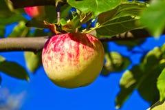 Ένωση της Apple στο δέντρο μηλιάς Στοκ Φωτογραφία