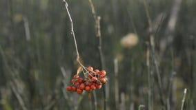 Ένωση των κόκκινων μούρων του δέντρου τέφρας βουνών, πρόσφατη δασώδης περιοχή φθινοπώρου, που ταλαντεύεται στον αέρα απόθεμα βίντεο