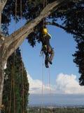 Ένωση υλοτόμων χειρούργων δέντρων από ένα μεγάλο δέντρο Στοκ εικόνα με δικαίωμα ελεύθερης χρήσης