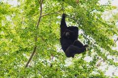 Ένωση Gibbon Siamang Στοκ φωτογραφία με δικαίωμα ελεύθερης χρήσης