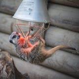 Ένωση Meerkat στη θερμάστρα Στοκ Φωτογραφία