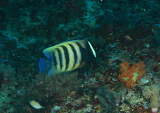 Έξι-ενωμένος angelfish Στοκ Εικόνες