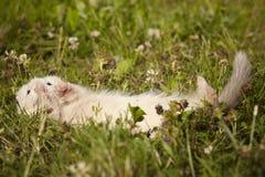 Έξι ηλικίας εβδομάδες μωρών κουναβιών στη χλόη Στοκ Φωτογραφίες