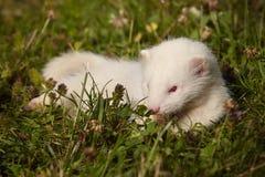 Έξι ηλικίας εβδομάδες μωρών κουναβιών στη χλόη Στοκ Εικόνες