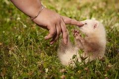 Έξι ηλικίας εβδομάδες μωρών κουναβιών στη χλόη Στοκ Εικόνα