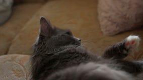 Έξοχη οκνηρή γκρίζα γάτα που κάποιο υπόλοιπο απόθεμα βίντεο