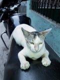 Έξοχη ταλαντούχος γάτα Στοκ φωτογραφία με δικαίωμα ελεύθερης χρήσης