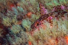 Έξοχη υποβρύχια κινηματογράφηση σε πρώτο πλάνο superciliosus Klipfish Clinus Στοκ Εικόνες