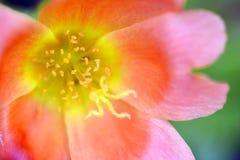 Έξοχος μακρο πυροβολισμός του λουλουδιού για το όμορφο υπόβαθρο Στοκ Εικόνα