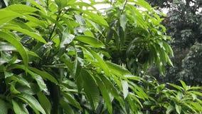 Έξοχος σε αργή κίνηση των σταγονίδιων νερού βροχής που αφορούν βαριά το δέντρο μάγκο απόθεμα βίντεο
