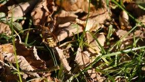 Έξοχος στενός επάνω εντόμων Hornet απόθεμα βίντεο