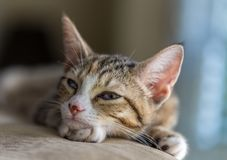Έξοχο νυσταλέο γατάκι Στοκ Εικόνες