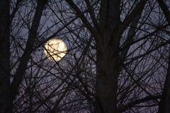 Έξοχο φεγγάρι στο ηλιοβασίλεμα πριν από τους κλάδους δέντρων έκλειψης φεγγαριών αίματος στο πρώτο πλάνο Στοκ Φωτογραφίες