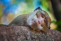 Έξυπνος πίθηκος, Ταϊλάνδη Στοκ Εικόνες
