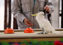 έξυπνος παπαγάλος Στοκ Φωτογραφίες