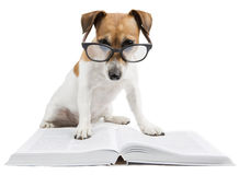 Έξυπνο βιβλίο ανάγνωσης σκυλιών Στοκ εικόνα με δικαίωμα ελεύθερης χρήσης