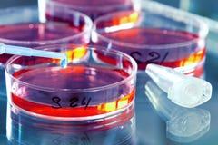 έρευνα βακτηριδίων Στοκ Εικόνα