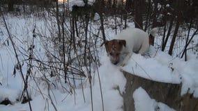 Έρευνα σκυλιών Κυνήγια τεριέ του Jack Russell παιχνίδι σκυλιών αστείο κατοικίδιο ζώο υψίπεδο κυνηγιού παιχνιδιών επεισοδίου σκυλι απόθεμα βίντεο