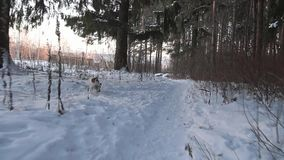 Έρευνα σκυλιών Κυνήγια τεριέ του Jack Russell παιχνίδι σκυλιών αστείο κατοικίδιο ζώο υψίπεδο κυνηγιού παιχνιδιών επεισοδίου σκυλι φιλμ μικρού μήκους