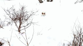 Έρευνα σκυλιών Κυνήγια τεριέ του Jack Russell απόθεμα βίντεο