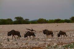 Έρημοι και φύση της Ναμίμπια Kudu στα εθνικά πάρκα στοκ εικόνα με δικαίωμα ελεύθερης χρήσης