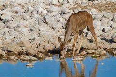 Έρημοι και φύση της Ναμίμπια Kudu στα εθνικά πάρκα στοκ φωτογραφία
