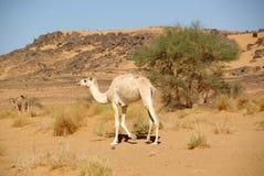 έρημος Λιβύη καμηλών Στοκ Φωτογραφία