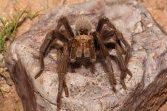 Έρημος ξανθό Tarantula (Aphonopelma Chalcodes) Στοκ εικόνες με δικαίωμα ελεύθερης χρήσης