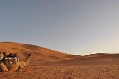 έρημος Σαχάρα καμηλών Στοκ Εικόνες