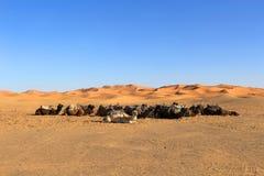 έρημος Σαχάρα καμηλών Στοκ εικόνα με δικαίωμα ελεύθερης χρήσης