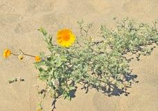 Έρημος anza-Borrego: Έξοχη άνθιση Στοκ Εικόνες