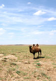 έρημος gobi καμηλών Στοκ Εικόνες