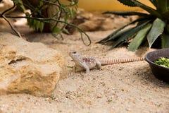 Έρημος Iguana Στοκ Φωτογραφίες