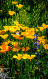 Έρημος poppys με Lupine Στοκ φωτογραφία με δικαίωμα ελεύθερης χρήσης