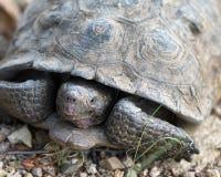 Έρημος Tortoise Sonoran Στοκ Φωτογραφίες