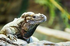 Έρπουσα συνεδρίαση Leguan σε έναν βράχο Στοκ Εικόνα