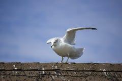 έτοιμη seagull απογείωση Στοκ φωτογραφία με δικαίωμα ελεύθερης χρήσης