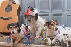 Έτοιμος για το κόμμα - τρία σκυλιά του Jack Russell στοκ εικόνα με δικαίωμα ελεύθερης χρήσης