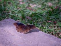 Έτοιμος να πετάξει της μαύρης πεταλούδας στοκ εικόνα με δικαίωμα ελεύθερης χρήσης