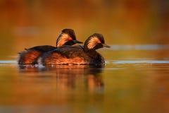Έχον νώτα ζευγάρι nigricollis Grebe - Podiceps των πουλιών που κολυμπούν στο νερό στο κόκκινο φως του ήλιου βραδιού Στοκ Εικόνα