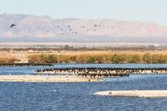 Έχον νώτα Grebes, θάλασσα Salton, Καλιφόρνια Στοκ εικόνα με δικαίωμα ελεύθερης χρήσης