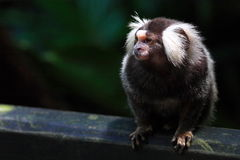 έχον νώτα marmoset βαμβακιού στοκ φωτογραφία με δικαίωμα ελεύθερης χρήσης