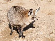 Έχουσα νώτα αλεπού ροπάλων - megalotis Otocyon Στοκ Εικόνα
