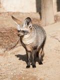 Έχουσα νώτα αλεπού ροπάλων - megalotis Otocyon Στοκ φωτογραφίες με δικαίωμα ελεύθερης χρήσης